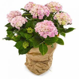 hortensia krukväxt med flera klasser